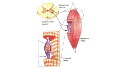 Objetivo Re Inervación Muscular: El Futuro Es Ahora.